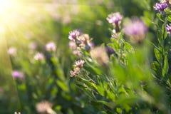 Ξηρό λιβάδι άνοιξη με τα μικρά λουλούδια αναδρομικά φωτισμένα Στοκ Φωτογραφία