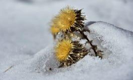 Ξηρό κίτρινο λουλούδι στο χιόνι Στοκ Εικόνες
