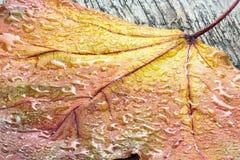 Ξηρό κίτρινο φύλλο σφενδάμου με τις πτώσεις νερού στην ξύλινη μακροεντολή πινάκων Στοκ φωτογραφία με δικαίωμα ελεύθερης χρήσης