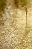 ξηρό λιβάδι χλόης δροσιάς Στοκ Εικόνα