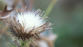 Ξηρό λουλούδι κάρδων λουλουδιών φιλμ μικρού μήκους
