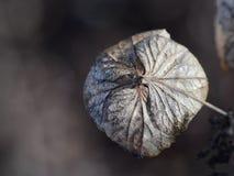 Ξηρό λουλούδι Hydrangea στη μακροεντολή Στοκ Φωτογραφίες