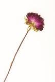 ξηρό λουλούδι Στοκ Εικόνες