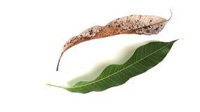 Ξηρό μάγκο φύλλων και πράσινο μάγκο που απομονώνονται στο άσπρο υπόβαθρο Στοκ Φωτογραφίες
