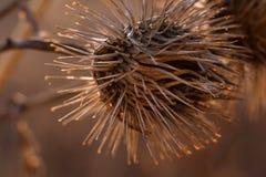 Ξηρό μακρο arctium Lappa, μεγαλύτερο burdock φωτογραφιών λουλουδιών Μακροεντολή Στοκ Φωτογραφίες