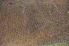 Ξηρό μικρό αγρόκτημα λάχανων Στοκ Φωτογραφίες