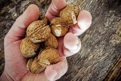 Ξηρό ξύλο καρυδιάς στο χέρι της Farmer Στοκ Εικόνες