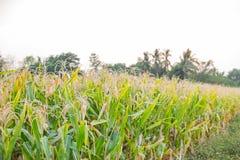 Ξηρό λουλούδι καλαμποκιού, αγροτική γεωργία τομέων καλαμποκιού Στοκ εικόνα με δικαίωμα ελεύθερης χρήσης
