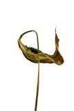 Ξηρό λουλούδι 01 Στοκ Εικόνα