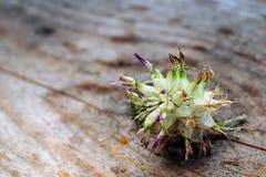 Ξηρό λουλούδι Στοκ Φωτογραφίες