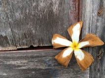 Ξηρό λουλούδι plumeria στον ξύλινο τοίχο Στοκ Εικόνες