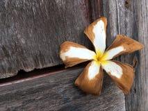 Ξηρό λουλούδι plumeria στον ξύλινο τοίχο Στοκ εικόνα με δικαίωμα ελεύθερης χρήσης