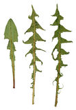 Ξηρό πράσινο φύλλο της πικραλίδας Στοκ Φωτογραφία
