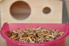 Ξηρό σκουλήκι για τη σίτιση του τρωκτικού ή του πουλιού με τη σαύρα και το ξύλινο σπίτι Στοκ εικόνες με δικαίωμα ελεύθερης χρήσης