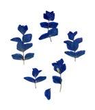Ξηρό, συμπιεσμένο φυτό με τα φωτεινά μπλε φύλλα Στοκ Εικόνες