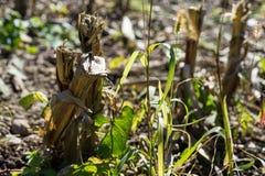 Ξηρό τέλος τομέων γεωργίας του καλοκαιριού πάρα πολύ καυτό καμία βροχή Στοκ Φωτογραφίες