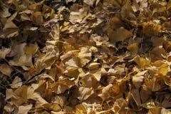 Ξηρό υπόβαθρο φύλλων Ginkgo ενάντια σε άλλο τακτοποιημένα φύλλα στον ήλιο Στοκ φωτογραφία με δικαίωμα ελεύθερης χρήσης