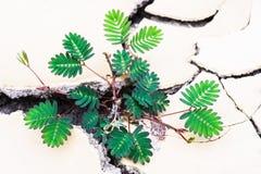 ξηρό φυτό λάσπης Στοκ Εικόνες