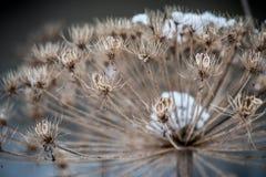 Ξηρό φυτό το χειμώνα Στοκ φωτογραφία με δικαίωμα ελεύθερης χρήσης