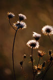 ξηρό φυτό φθινοπώρου Στοκ φωτογραφία με δικαίωμα ελεύθερης χρήσης