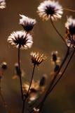 ξηρό φυτό φθινοπώρου Στοκ Εικόνες