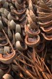 Ξηρό Areca καρύδι ή betel - καρύδι Στοκ φωτογραφία με δικαίωμα ελεύθερης χρήσης