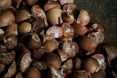 Ξηρό betelnut Στοκ Εικόνες