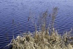 Ξηρό Cattails Στοκ Φωτογραφία