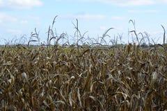 Ξηρό cornfield Στοκ Φωτογραφία