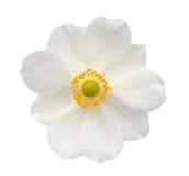 Ξυπνώντας λουλούδι Hosta αγγέλου Στοκ Εικόνες