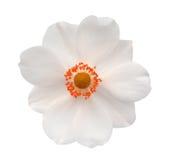 Ξυπνώντας λουλούδι Hosta αγγέλου Στοκ εικόνες με δικαίωμα ελεύθερης χρήσης