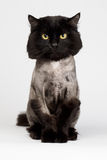 Ξυρισμένη μαύρη γάτα στοκ εικόνες