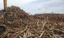 Ξυλεία λαστιχένιων δέντρων Στοκ φωτογραφίες με δικαίωμα ελεύθερης χρήσης