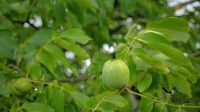 Ξύλα καρυδιάς στο δέντρο πριν από τα άψητα πράσινα καρύδια συγκομιδών και φύλλα κλάδων στον αέρα απόθεμα βίντεο