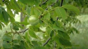 Ξύλα καρυδιάς στο δέντρο πριν από τα άψητα πράσινα καρύδια συγκομιδών και φύλλα στον κλάδο που επιπλέει στον αέρα απόθεμα βίντεο