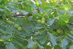 Ξύλα καρυδιάς στο δέντρο Στοκ Εικόνες