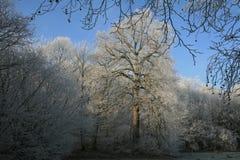 Ξύλα στο wintertime με τα παγωμένα δέντρα Στοκ Φωτογραφίες