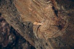 Ξύλινες σύσταση και ανασκόπηση Σύσταση κορμών δέντρων περικοπών Μακρο άποψη της κομμένων σύστασης και του υποβάθρου κορμών δέντρω Στοκ εικόνες με δικαίωμα ελεύθερης χρήσης