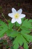Ξύλινη λεπτομέρεια anemone - nemorosa Anemone Στοκ Εικόνες