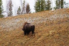 Ξύλινη φυσική άποψη εθνικών οδών της Αλάσκας βισώνων στοκ φωτογραφίες με δικαίωμα ελεύθερης χρήσης