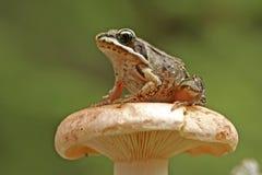 Ξύλινος βάτραχος (sylvatica Rana) Στοκ φωτογραφίες με δικαίωμα ελεύθερης χρήσης