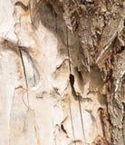 Ξύλινος φλοιός Sedin Στοκ Φωτογραφίες