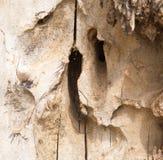 Ξύλινος φλοιός Sedin Στοκ Φωτογραφία