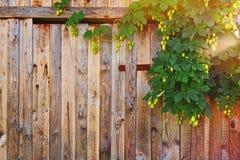 Ξύλινος φράκτης με το θάμνο λυκίσκου Στοκ Εικόνες