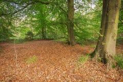 Ξύλινο δάσος κληθρών στην ανατολή Frisia Στοκ εικόνα με δικαίωμα ελεύθερης χρήσης