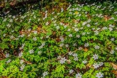 Ξύλινο δάσος anemones την άνοιξη Στοκ Φωτογραφία