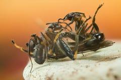 Ξύλινο μυρμήγκι, μυρμήγκι, μυρμήγκια, rufa Formica Στοκ Εικόνες