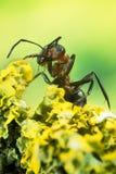 Ξύλινο μυρμήγκι, μυρμήγκι, μυρμήγκια, rufa Formica Στοκ εικόνες με δικαίωμα ελεύθερης χρήσης