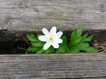 Ξύλινο υπόβαθρο με το ξύλινο anemone Στοκ φωτογραφία με δικαίωμα ελεύθερης χρήσης