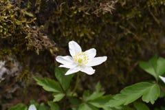 Ξύλινο anemone στοκ εικόνες